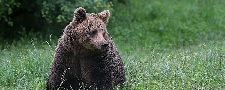 Observation des ours dans les Carpates