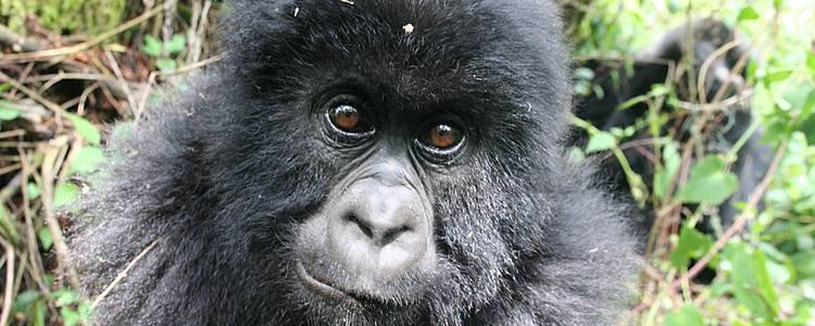 Gorillas und der Kivusee