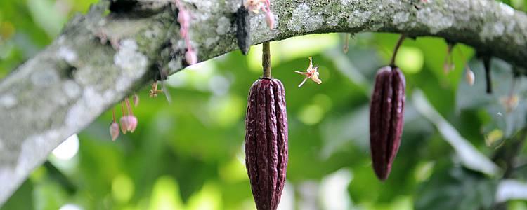 Bahia e la rotta del cacao in famiglia