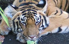 Sur la route des tigres du Bengale