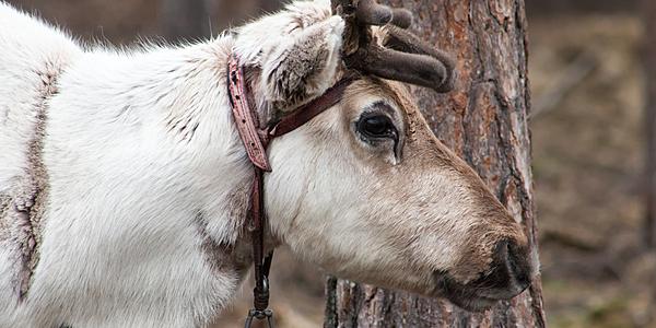 Un renne à Rovaniemi