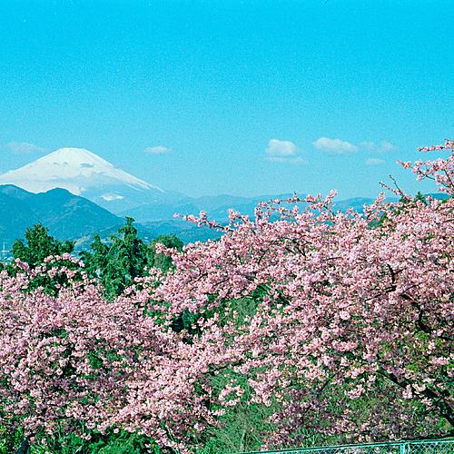 Floraison des cerisiers à Kawazu - Kyōto -