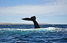 Observation des baleines à bosse dans le Détroit de Magellan
