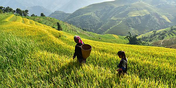 Hmong récoltant le riz, Sapa, Vietnam