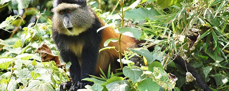 Mini Tour: Gorilla e Golden Monkeys
