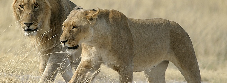 Lions Namibie