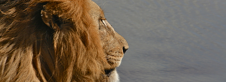 Le Lion, roi du Safari, que vous rencontrerez lors de votre séjour en Tanzanie!