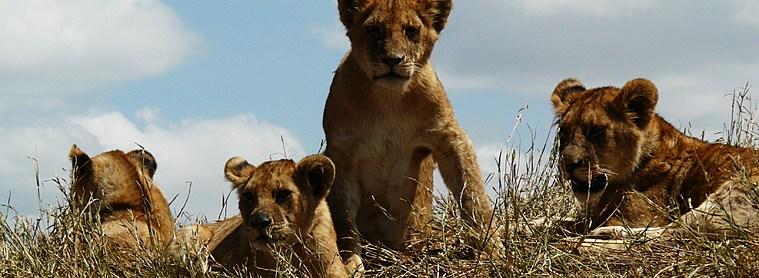 Les lions, digne représentant des