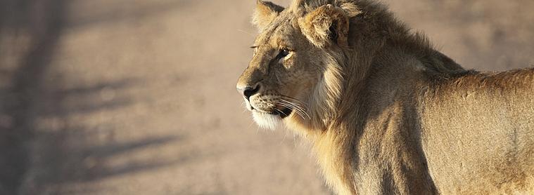 Le Lion de Joseph Kessel, une oeuvre majeur de la littérature, se déroulant en Tanzanie !