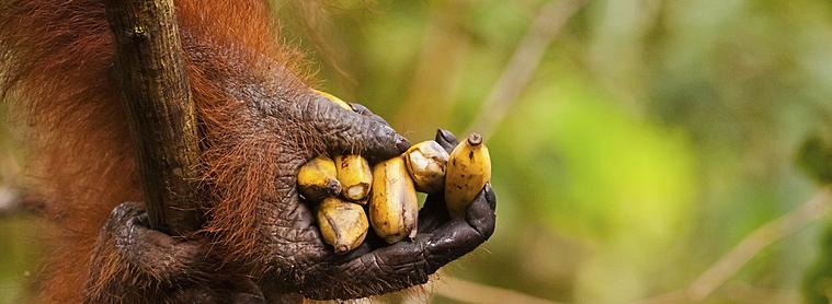 Dans le Parc National de Tarung Puting, vous aurez peut-être la chance de croiser des Orangs-outans. Cette espèce est actuellement en voie de disparition donc respecter son environnement !