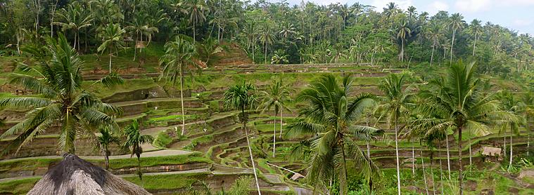Vous pourrez vous promener longuement entre les rizières de la tranquille et spirituelle Ubud !