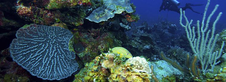 Corail cuba
