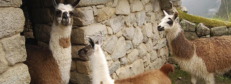 Quand partir à la rencontre des lamas au Pérou ?