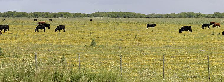 55 millions de vaches argentines sont responsables de 0,6% des émissions de gaz à effet de serre de la planète !