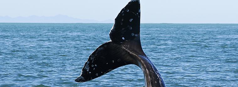 Approchez de près les baleines avec votre kayak en Patagonie !