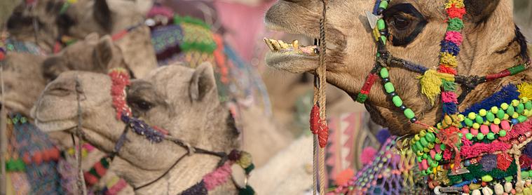 Foire de Pushkar et ses chameaux