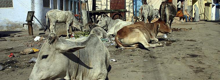 Les vaches indiennes sur les routes : un phénomène plus que normal