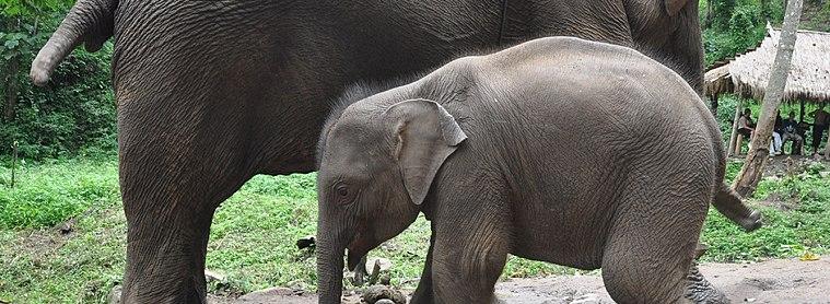 Les éléphants : à ne pas manquer !