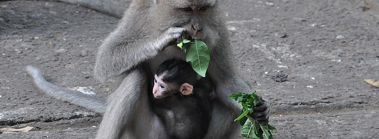 Impossible de passer à côté de macaques, présents partout à Bali !