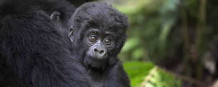 I primati di Uganda e Ruanda
