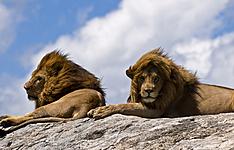 Au pays des lions du désert