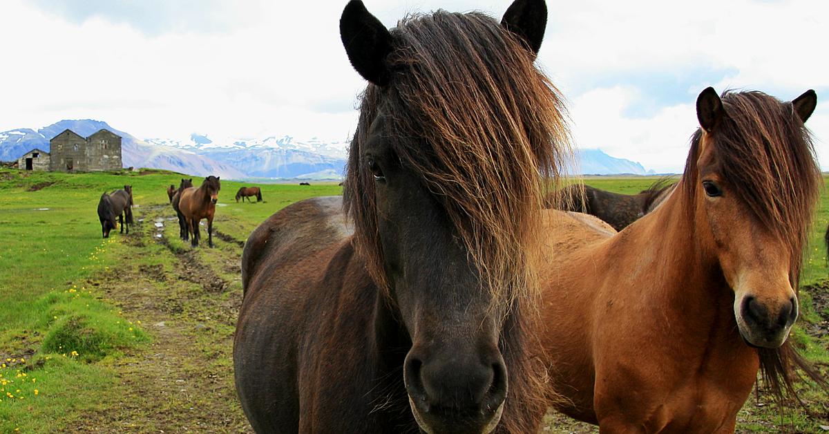 Voyage à cheval Islande : Cheval, Baleine et bains chauds