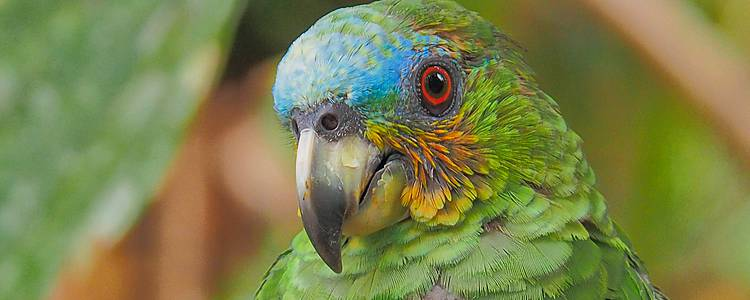 Estensione amazzonica