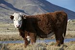 Le CO2 et les vaches