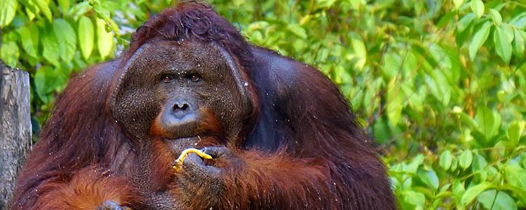 Oranghi del Borneo e i fondali di Maratua