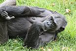 Lutte pour les Chimpanzés