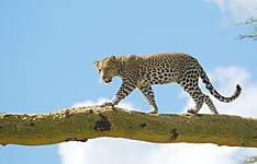 Safari de luxe pour les amateurs de marche et de la grande migration
