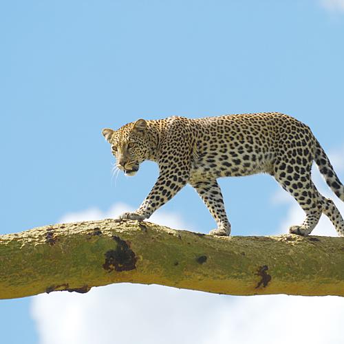 Safari de luxe pour les amateurs de marche et de la grande migration -